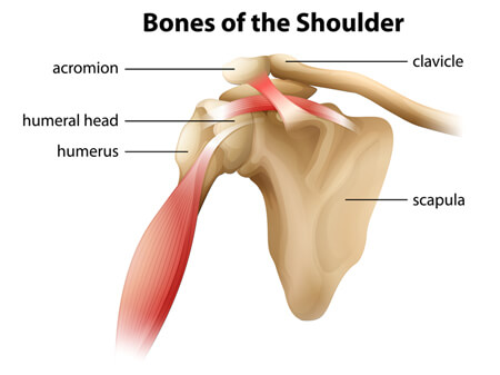 The 3 Bones Of The Shoulder Joint